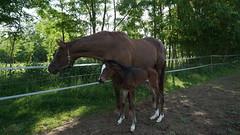 Hakina et sa pouliche de un jour !!! (passionpapillon) Tags: animal cheval poulain jument horse passionpapillon 2017