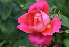 Thursday`s Flower (Eleanor (No multiple invites please)) Tags: rose pinkrose busheyrosegarden bushey uk nikond7200 105mmmacrolens may2017