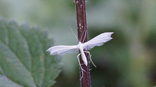 Le Ptérophore Blanc - Ptérophorus Pentadactylus