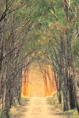 Evening light, O'Keefe Rail Trail (Matt OZW) Tags: australia victoriaboxironbarkforest okeeferailtrail landscape places eveninglight