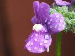 Waterdroplets (Gsc63) Tags: macro olympusepl7 waterdrops outdoor plant tree foliage leaf flower waterdroplet