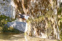 Wasseramsel 19 (rgr_944) Tags: vögel vogel bird oiseau tiere animaux animals natur outdoor canoneos80deos7dmk2eos5dmk4 rgr944
