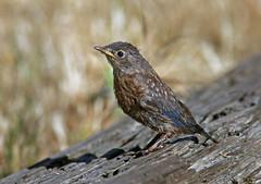 Western Bluebird (Sialia mexicana) (Ron Wolf) Tags: nationalpark pinnaclesnationalpark sialiamexicana turdidae westernbluebird bird fledgling nature wildlife california juvenile