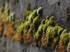 Moos (reuas ogni) Tags: moos natur grün moose olympus zuiko moss nature green isoz
