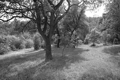 DSCF0568 (elmartin76) Tags: puigreig family holm oak trees