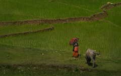 herding one cow (In Iceland now, back 5th august) Tags: nepal nepali woman nepaliwoman cow landscape nepallandscape travel