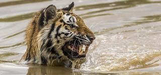 Hope Snarling in the water-1