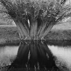 A bunch of trees (Other dreams) Tags: pomerania pomorze polska poland vistula wisła landscape ilford fp4 nofilter grass willows paranols square symmetric rolleiflex35f