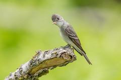 Eastern Wood-Pewee (Joe Branco) Tags: lightroomcc2015 photoshopcc2017 joebrancophotography nikond500 nikon branco joe easternwoodpewee nature songbirds birds wildlife