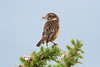 Stonechat ♀ (Shane Jones) Tags: stonechat bird wildlife nature nikon d500 200400vr
