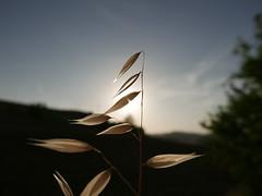 Doradas por el sol (jantoniojess) Tags: pruna sevilla seville andalucía sun sol espigas gavillas cebada sunset atardecer silueta silhouette fecundidad pequeñez simplicidad minimalismo naturaleza contraluz
