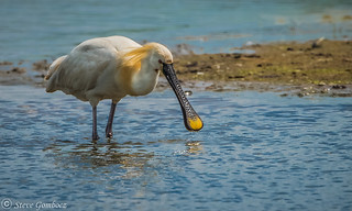 A Wading Spoonbill.