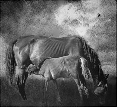Mother with Foal (Petefromstaffs) Tags: horse equine foal textures vignette sky feeding hss blackandwhite bw mono monochrome