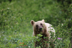 Wildlife along my travels (davebloggs007) Tags: alberta canada wildlife grizzly bear