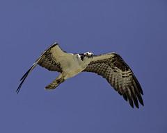 Osprey Eyes (lennycarl08) Tags: osprey ptmolateosprey raptor hawk fisheagle fishhawk california eastbay richmondca birdofprey birds