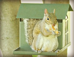 ~Hello...thanks for visiting my nut house. HFF (nushuz) Tags: graysquirrel charlie nuthouse peanuts outside cuteness happyfurryfriday hff