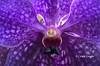 o r c h i d (✿ Graça Vargas ✿) Tags: orchid orquídea graçavargas ©2017graçavargasallrightsreserved flower purple vanda vandacoerulea appleiphone6s iphone 21014190617