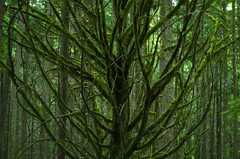 Stillness and Creaking (Kristian Francke) Tags: forest abstract old tree helios outdoors green bc canada british columbia nature naturephotography natural moss mossy