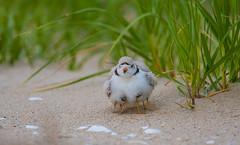 Piping Plovers with chicks (nikunj.m.patel) Tags: plovers pipingplover birds avian wildlife nature photography shorebirds outdoor endangered protected beauty parent protective warmth nikon beach summer plover
