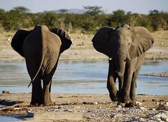 DSC07198 - NAMIBIA 2017 (HerryB) Tags: 2017 southafrica afrique afrika namibia namib südwest sonyalpha77 sonyalpha99 tamron alpha sony bechen heribert heribertbechen fotos photos photography herryb dolomite lodge camp accomodation restaurant rondavels lounge pool gamedrive lion löwe zebra hartmans bergzebra elefant oryx etosha nationalpark etoshapan