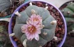 Lophophora williamsii (armen.cactus) Tags: cactus succulent flowers blooms lophophora williamsii peyote