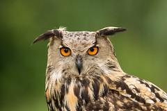 Eurasian Eagle-owl (bakosmike) Tags: eurasian eagleowl raptor bird nikon d7200 sigma 150600mm contemporary safari niagara portrait