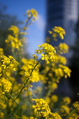 Summer flowers (VladimirTro) Tags: russia canon bokeh sky saintpetersburg yellow city россия санктпетербург outdoor europe 500d sunny eos dslr photo photography 24mm