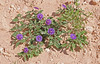 CAD0014459a (jerryoldenettel) Tags: 170518 2017 asterids boneyhill curryco nm purplegroundcherry quincula quinculalobata solanaceae solanales flower groundcherry willdflower