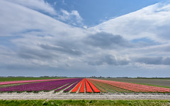 Split into parts.... (powerfocusfotografie) Tags: tulips groningen dutch holland netherlands farming agriculture henk nikond7200 powerfocusfotografie