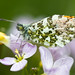 Orange Tip (nathian brook) Tags: tamron macro insects staidens butterflies