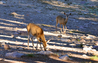Deer Grazing along the Hiking Path 2