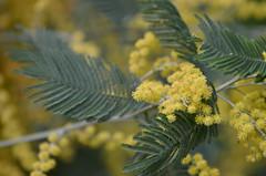 Mimosa (dfromonteil) Tags: mimosa fleurs flowers macro bokeh yellow green vert jaune colors couleurs nature light lumière spring printemps