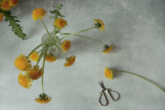 Time of year - dandelions (Button-NK) Tags: dandelions may flowers yellow stilllife spring