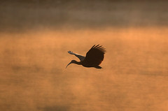 Peru (richard.mcmanus.) Tags: gettyimages southamerica mcmanus bird greenibis ibis rainforest peru