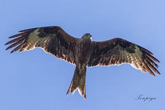 Nibbio reale (Tonpiga) Tags: tonpiga uccelliinlibertà faunaselvatica milvusmilvus nibbioreale