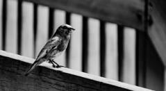 DSC00551processed1 (onbreadalonetp123) Tags: bird southcarolina