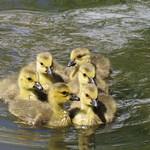 A Heart of Goslings thumbnail