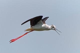 Cames llargues - Cigüeñuela común - Himantopus himantopus - Black-winged stilt