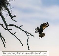 _DJA3608 copy (naturephotographywildlife) Tags: kruger wildlife scenery animals birdlife a99ii africa park hamerkop