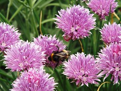 Bee Chive ... ☺ Explore (Tricia in Kent UK ....☺) Tags: beechive bee chive chives herbs chivehoney honey garden outdoors insects