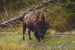 Yellowstone 5 Bison staring us down 2 copy (fgm runs) Tags: bison bufallo yellowstone nationalpark