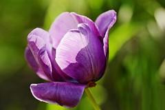 Beauté printanière. /  Spring beauty. (alainragache) Tags: garden tulipe tulip tulpen violet couleur color spring printemps primavera frühling canon600d sigma flower hdr lumière light bokeh vert green