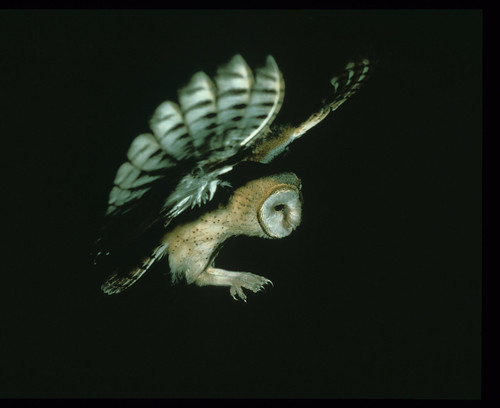 Western Barn Owl  Landing , 0120