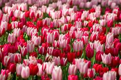 Tulips (marypink) Tags: parcokeukenhof olanda thenetherlands holland tulips tulipani spring primavera lisse nikond800 70300mmf456
