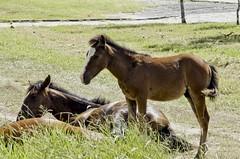 O_Potrinho_05 (Parchen) Tags: potro potrinho cavalo praia rua filhote equus equuscaballus nomecientífico cavalosderua soltos livres foto fotografia imagem registro parchen carlosparchen