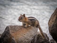 P5290063.jpg (littlespring2012) Tags: goldenmantledgroundsquirrel
