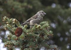 Crossbill and Spruce Bough (Chilkoot) Tags: crossbill birds spruce sprucecone juvenilecrossbill nature