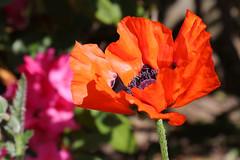 Orange Poppy (mariewise) Tags: garden summer flower blooming spring beautiful kalama washington pink purple orange poppy papaver