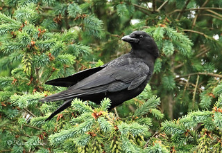 American Crow  [Explored]