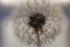 Make A Wish (ShannonVanB) Tags: dandelion wish poem upclose macro white daydream dandelionlivesmatter